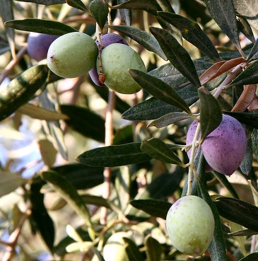 Olive stones can also be utilised as fuel in a biomass-fired plant